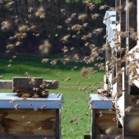 Bienen_im_Anflug_2