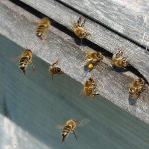 Bienen im Anflug zum Carnica Bienenvolk
