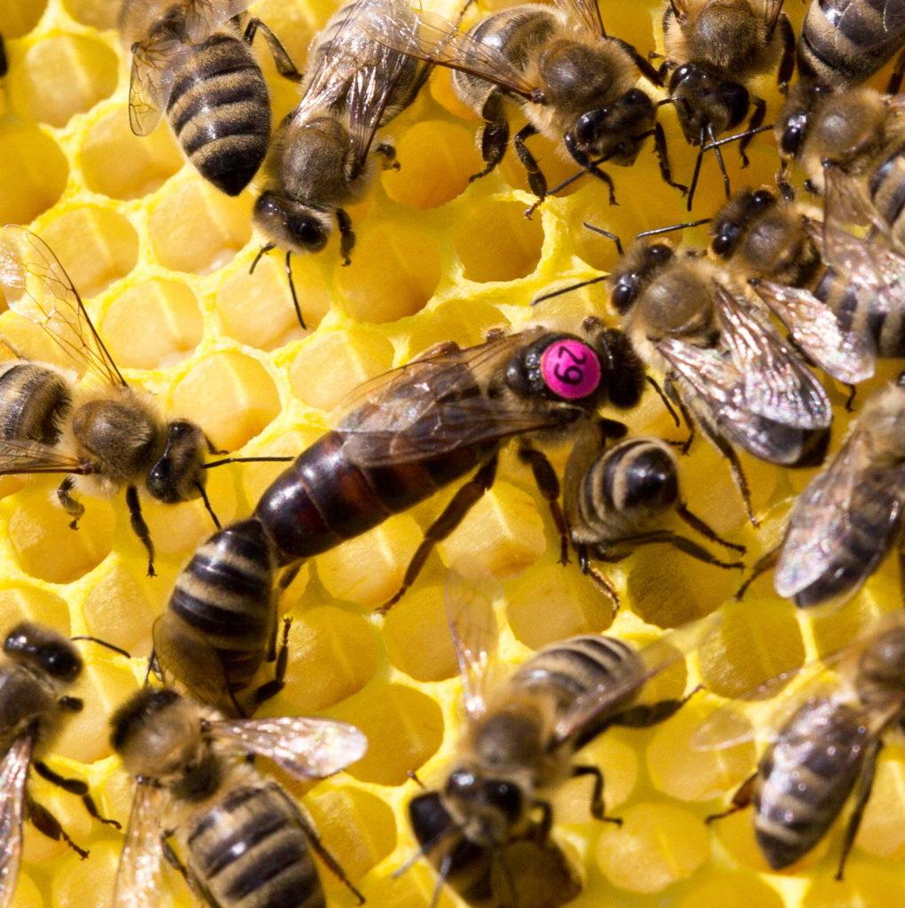 Carnica Bienenkönigin kaufen