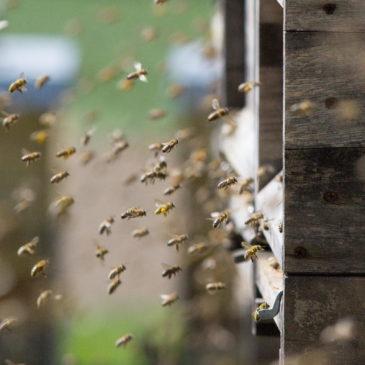 Bienen im Anflug zur Beute