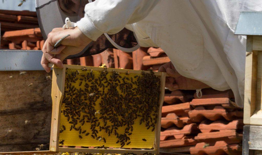 Suche der Königin bevor das Bienenvolk zum kaufen angeboten wird.