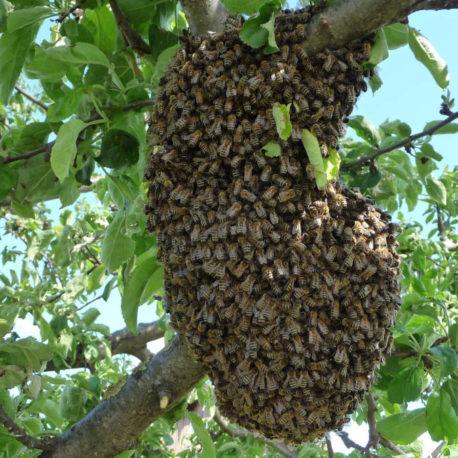 Bienen Ableger kaufen