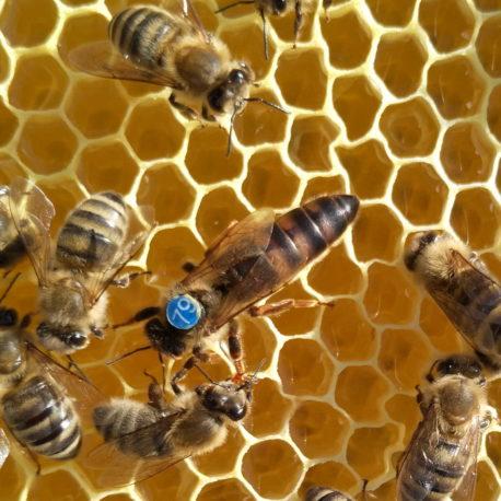 Bienenkönigin 2020 – Bienen kaufen ist Vertrauenssache